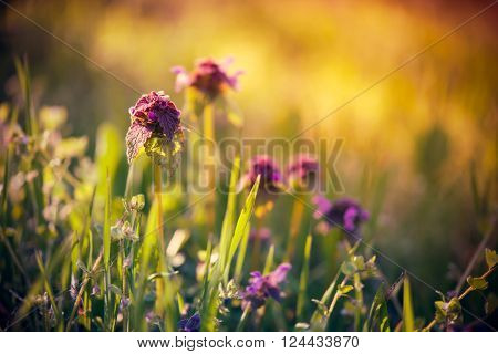 Wild purple flowers in the green grass, spring forest on a sunny day, vintage filtered closeup. Floral background with copy space.