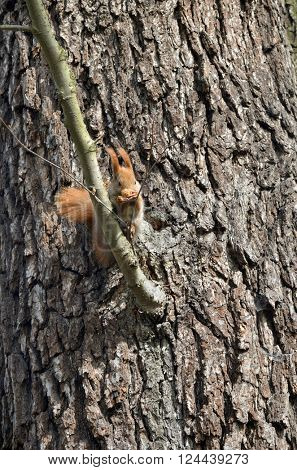 Squirrel eating nut on the tree.
