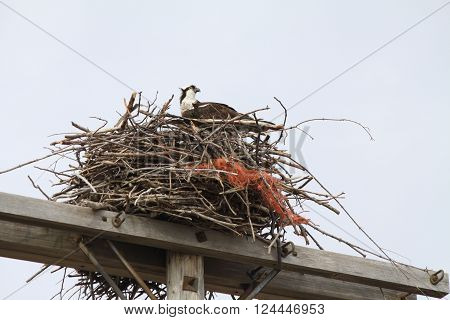 North American Osprey sitting inside of its nest made of twigs and branches on top of a pole