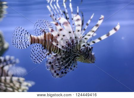 lionfish with open fins in blue water