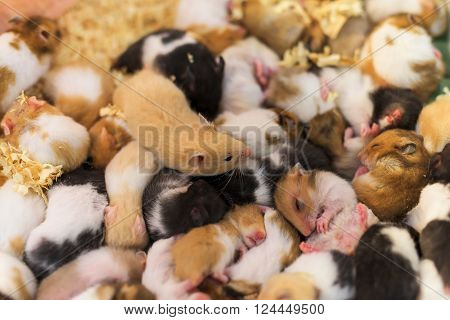 group of many young hamster mouses selective focus at the top one brown mouse