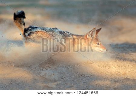 A black-backed Jackal (Canis mesomelas) running in dust, Kalahari desert, South Africa