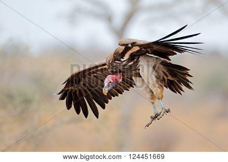 Lappet-faced vulture (Torgos tracheliotus) landing, Kruger National Park, South Africa