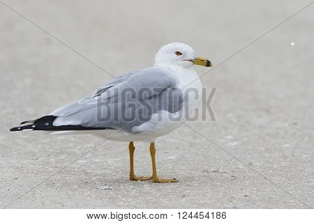 Adult Ring-billed Gull On A Florida Beach