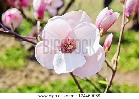 Blossom flower of magnolia tree in springtime