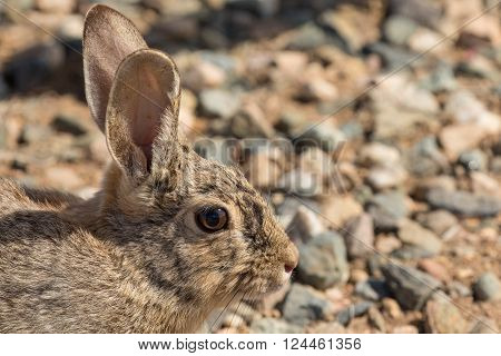 a cute cottontail rabbit posing for the camera