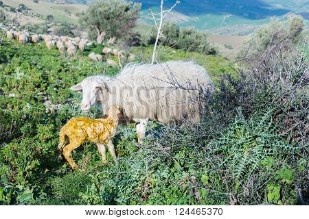 Sheep with newborn lamb, graze. The mother takes care of the baby, concept for all animals in the wild.