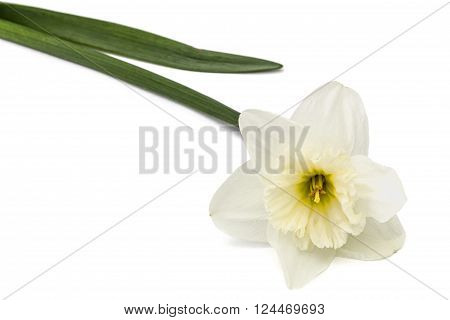 Flower of white Daffodil (narcissus) isolated on white background