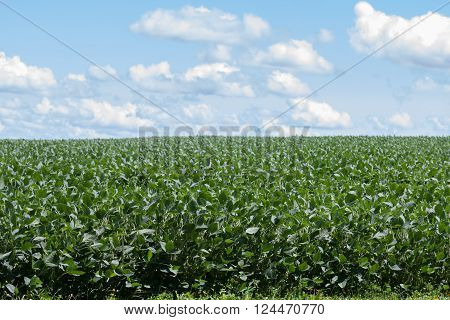 A field of soybean crop ready to be harvested.