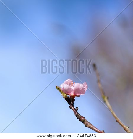 Blooming Nectarine tree with pink blossom