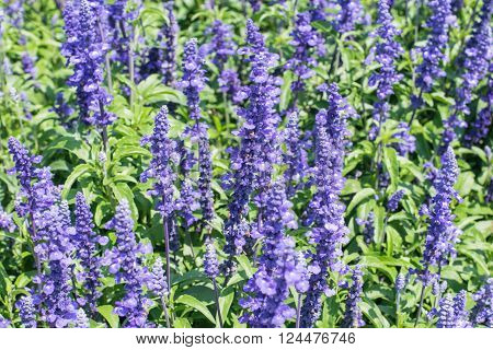 Beautiful spring background with Salvia farinacea Benth, Lavender flower, purple lavender flower
