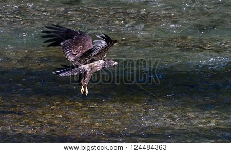 Bald eagle catching salmon fish close up