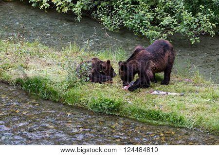 Grizzly bear and Bear Cub eat Salmon at hyder Alaska