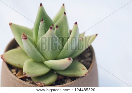 beautifu Succulent on a white background,in park