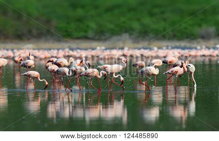 Pink Flamingos In Water