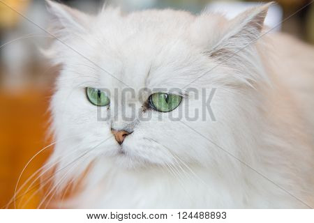 The little lovely White Persian cats looking something