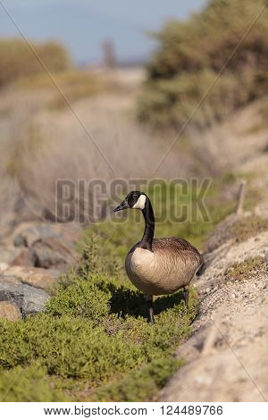 Canadian goose, Branta canadensis maxima, at the edge of a marsh in spring.