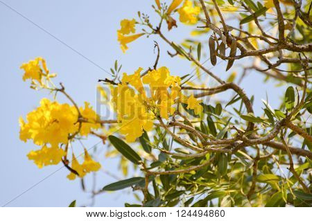 close up yellow tabebuia aurea flower in nature garden