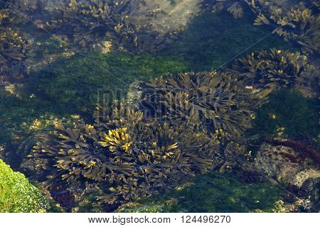 Looking Down Into Tide Pool With Sea Weed, Coral And Algae In The Spring In California