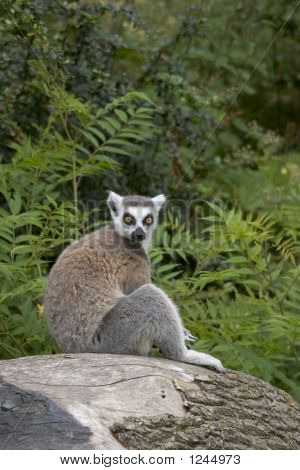 Ring-Tailed Lemur Sitting On A Tree Stump