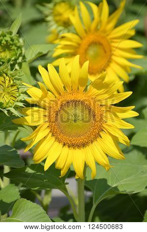beautiful sunflower in nature garden - Helianthus annuus