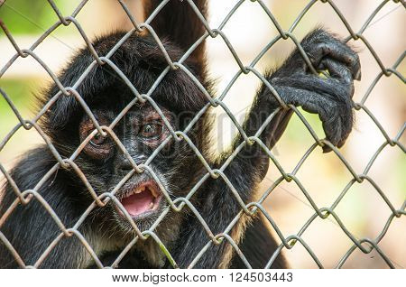 Young chimpanzee caught to the cage. Expression of pain and suffering in eyes