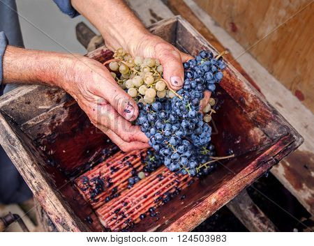 Person putting grapes in manual grape crusher