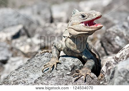 Grey iguana with open mouth attacking strangers in Palenque Mexico
