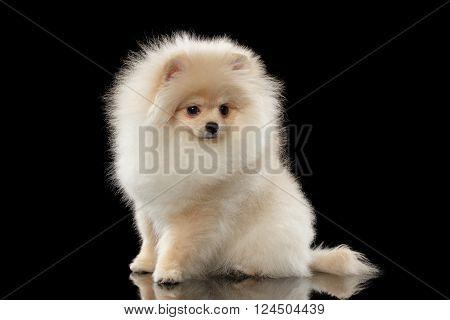Cute White Pomeranian Spitz Dog Sitting on Mirror isolated on Black Background