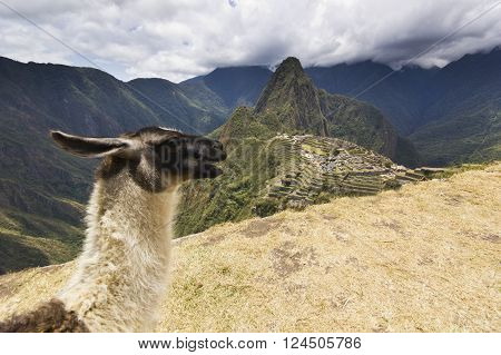 portrait of  lama near old town of machu-picchu, peru, with surrounding mountains