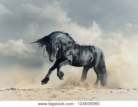 Wild frisian black stallion in desert running
