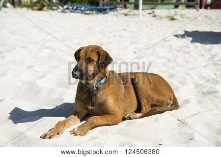 Young brown dog lying on beach sand sunny day outdoor in blue pet collar on natural background