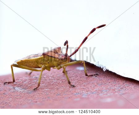 Gonocerus acuteangulatus on a red brick wall