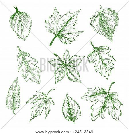 Sketched green tree leaves of maple and oak, birch and elm in retro engraving style. Nature and seasonal themes