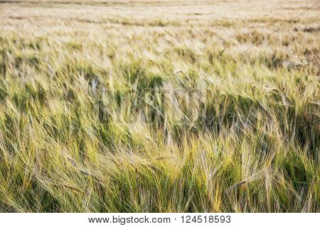 Yellow wheat field. Agricultural theme. Seasonal natural scene.