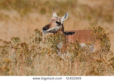Pronghorn Antelope Female