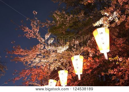 Nigth beautiful Cherry Trees in Blossom in a Garden during Springtime of japan