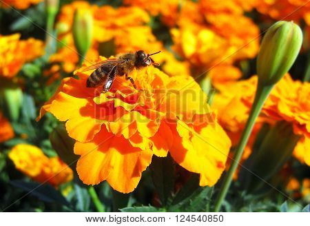 Close-up photo of a Honey Bee gathering nectar. Bee sitting on a flower . Yellow marigold and Bee on it.