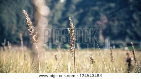 Close up of spikes in a meadow over nature background