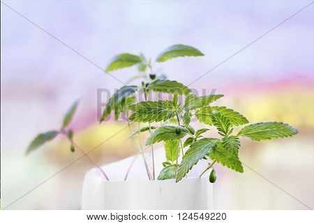 Hemp sprout young leaf in a white pot in a colorful blurry background