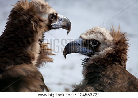 Portrait of two Cinereous Vultures (Aegyptius monachus)