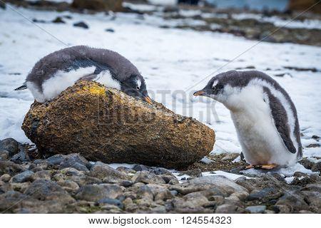 Adelie penguin lying on rock beside another