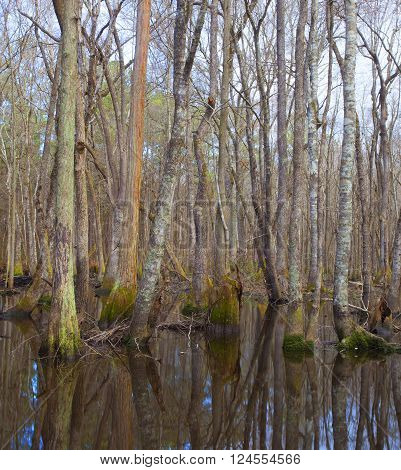 Forest around the Lumber River in North Carolina in the water