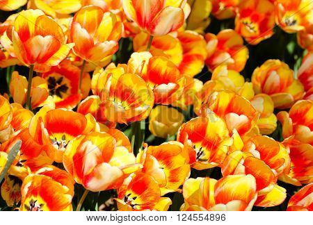 Bunch of bi-colored tulips. Yellow and orange combination.
