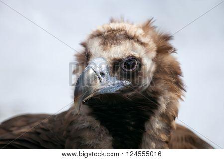 Portrait of a Cinereous Vulture (Aegyptius monachus)