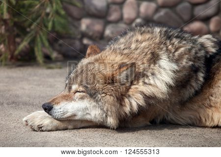 Grey Wolf (Canis lupus) close eyes on the sun