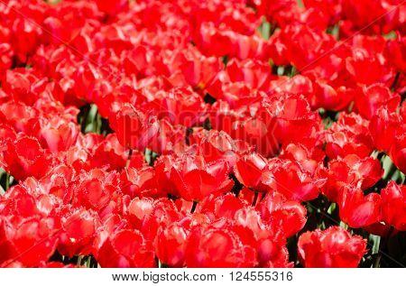 Gorgeous red fringed tulips on spring fields. ** Note: Shallow depth of field