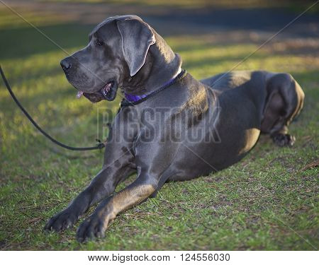 Purebred Great Dane that is laying on the grass
