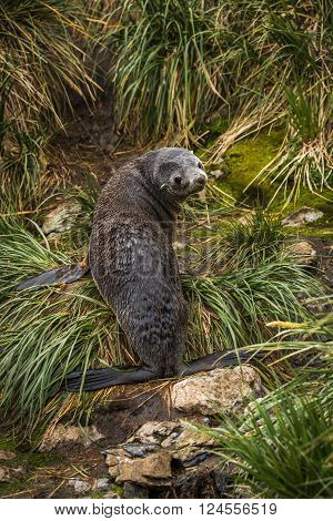Antarctic fur seal looking back in grass