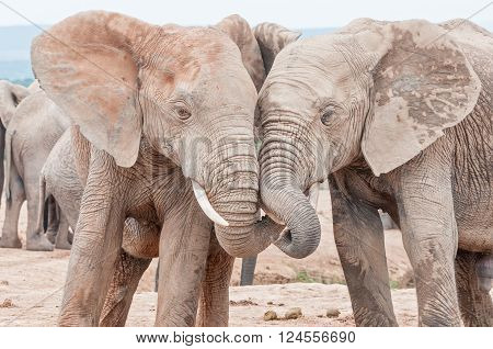 Two young mud covered African elephants Loxodonta africana interacting